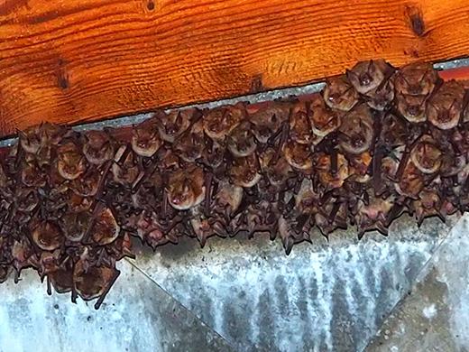 Geoffroy´s Bat
